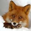 LIVE_FOX